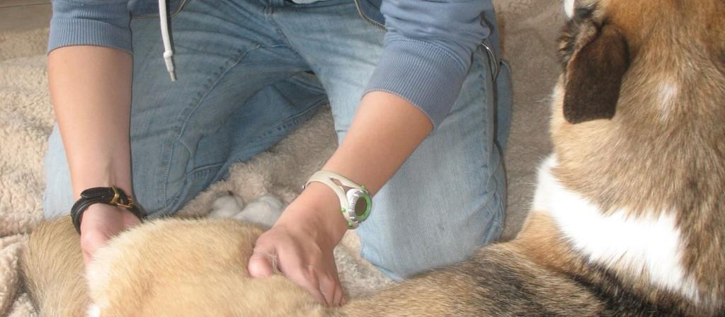 Canine Massage Certification Program And Dog Massage School